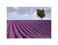 Lavender field and a lone tree - reprodukcja