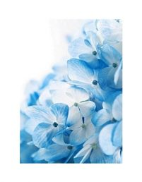 Hydrangea flowers background - reprodukcja