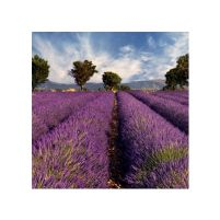 Lavender field in Provence, France - reprodukcja