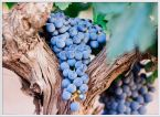 Poster Purple Grapes 70x50 cm
